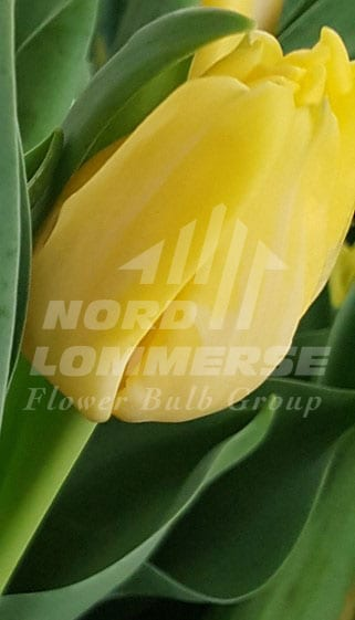 Agrass Yellow